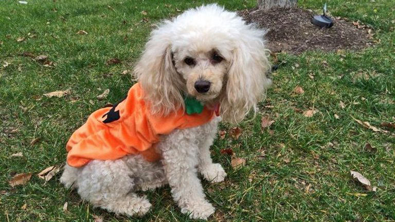 A costumed dog parade is planned for Sunday in Woodstown, NJ. (Alan Tu/WHYY)