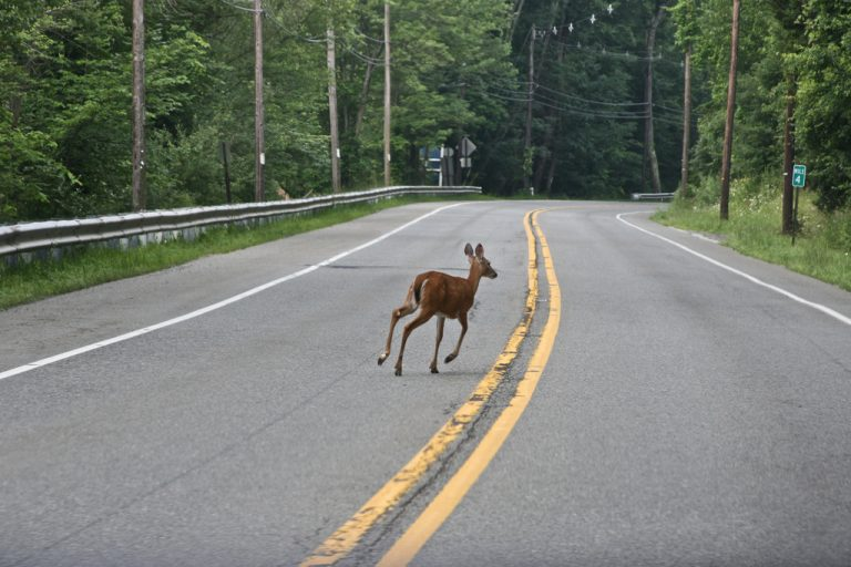 A deer crossing a New Jersey roadway in June 2009. (Image: Sheila Dee/sheiladeeisme via Flickr)