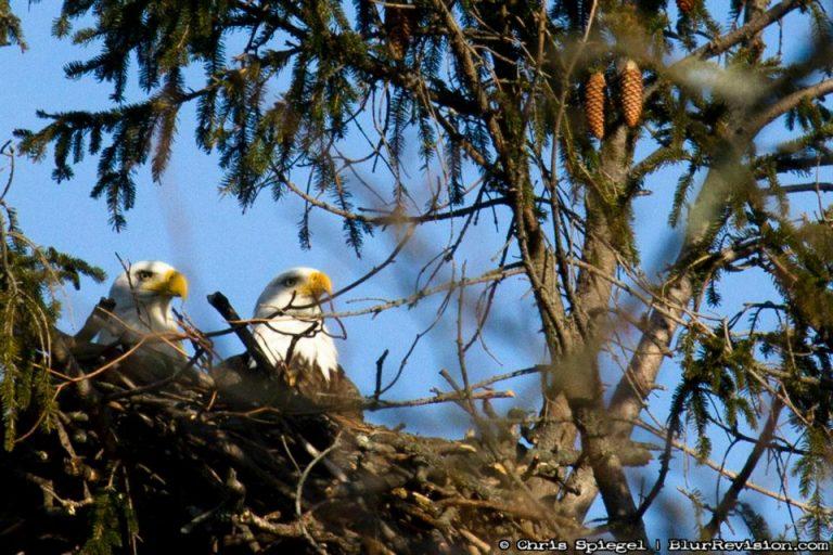 A bald eagle pair in a Jersey Shore nest. (Photo: Chris Spiegel/Blur Revision Media Design)