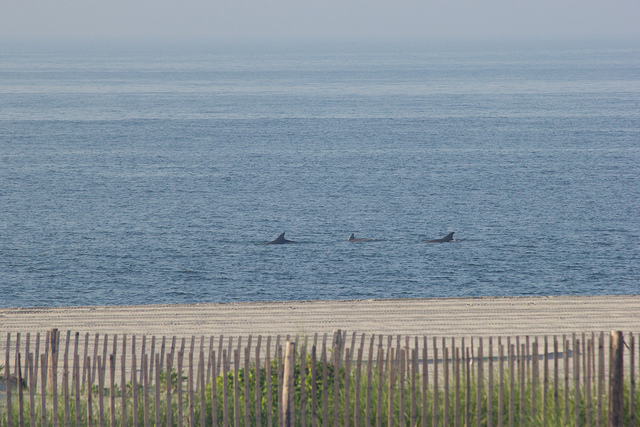 Dolphins swimming off Cape May on July 18, 2013. (Photo: Marc Benton via Flickr)