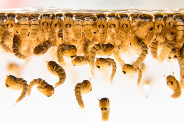 Oxitec mosquito larvae ALE6759