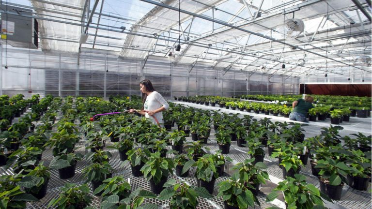Students at Colorado State University care for plants in a greenhouse on campus in Fort Collins