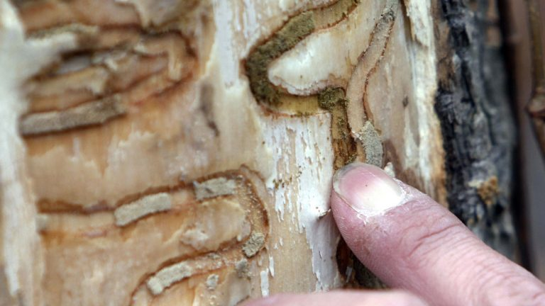 A New York State Department of Environmental Conservation forester points out the markings left from emerald ash borer larvae on an ash tree at Esopus Bend Nature Preserve in Saugerties, N.Y. (AP file photo)