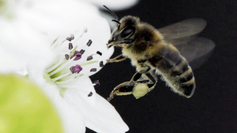 A honeybee collects nectar from a fruit tree. (AP file photo)
