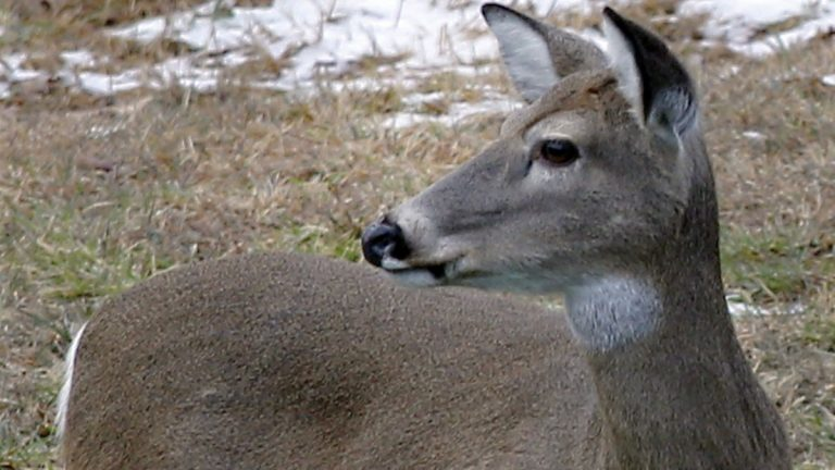 A whitetail deer looks around as it grazes in Zelienople, Pennsylvania. An estimated 750,000 hunters are expected to take to the woods as deer rifle hunting season opens Monday.  (AP file photo)