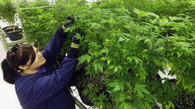 Ashley Thompson inspects marijuana plants inside the
