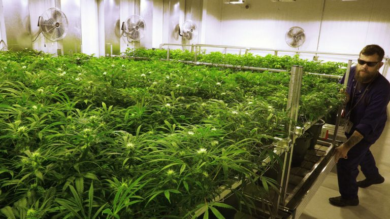 Dave Wilson cares for marijuana plants in the
