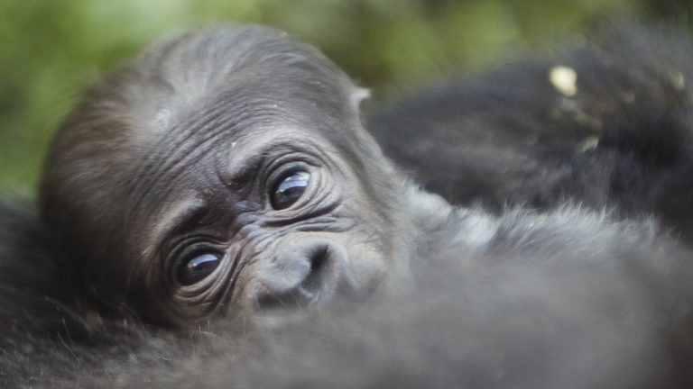 The baby western lowland gorilla at the Philadelphia Zoo will be called Amani