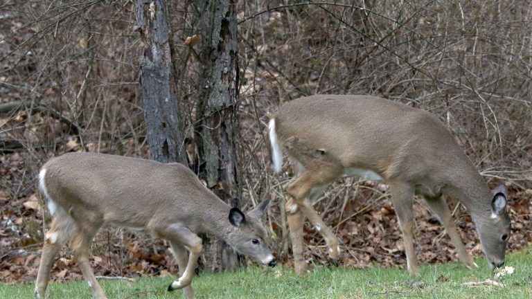 A pair of deer move along the edge of the woods during the first day of the 2014 Pennsylvania white-tailed deer hunting season with firearms in Zelienople. (AP file photo)