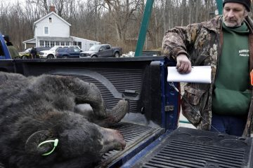 Mike Donahue of Stanhope, New Jersey, stands with a 346-pound male bear that he killed as he waits at the Whittingham Wildlife Management Area for check-in during last year's bear  hunt.(AP file photo)
