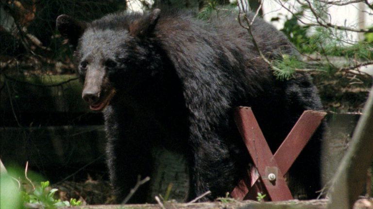 A 200-pound black bear roams near a picnic bench in the wooded back yard of a home in Mountainside, N.J., in this file photo (Mike Derer/AP photo)