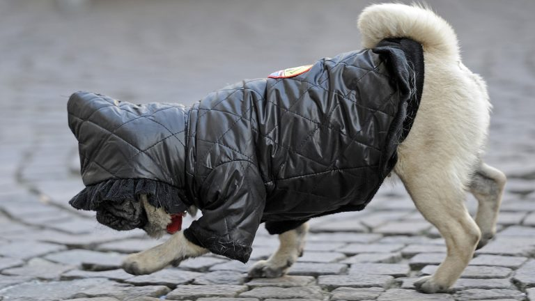 A warm covered pug dog strolls on a street (Martin Meissner/AP Photo)