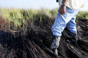 In this Oct. 14, 2010 picture, Plaquemines Parish coastal zone director P.J. Hahn walks through oiled marsh grass in Bay Jimmy near the Louisiana coast. Six months after the rig explosion that led to the largest offshore oil spill in U.S. history, damage to the Gulf of Mexico can be measured more in increments than extinctions, say scientists polled by The Associated Press. There is no comprehensive calculation for how much marshland was oiled, but estimates range from less than a square mile to just a handful of square miles (Patrick Semansky/AP Photo)