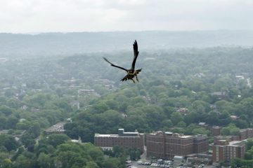A female peregrine falcon flies over the Oakland section of Pittsburgh in this May, 2011 photo. Officers from the Pennsylvania Game Commission gathered the falcon's chicks to give them a check up, apply bands to their legs, and then return them to the nest, which is located on the 40th floor of the University of Pittsburgh's Cathedral of Learning. The peregrine falcon is listed on Pennsylvania endangered species, and the program monitoring the birds nesting has been in effect since 2002. (Keith Srakocic/AP Photo, file)