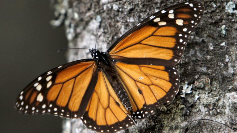 Dec. 9, 2011 file photo of a Monarch butterfly. (Marco Ugarte/AP Photo, file)