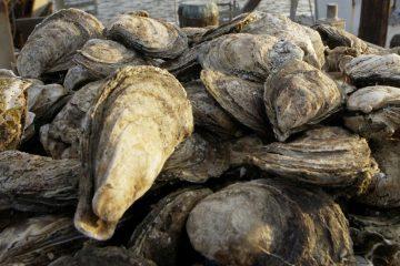 Delaware Bay oysters (Mary Godleski/AP Photo)