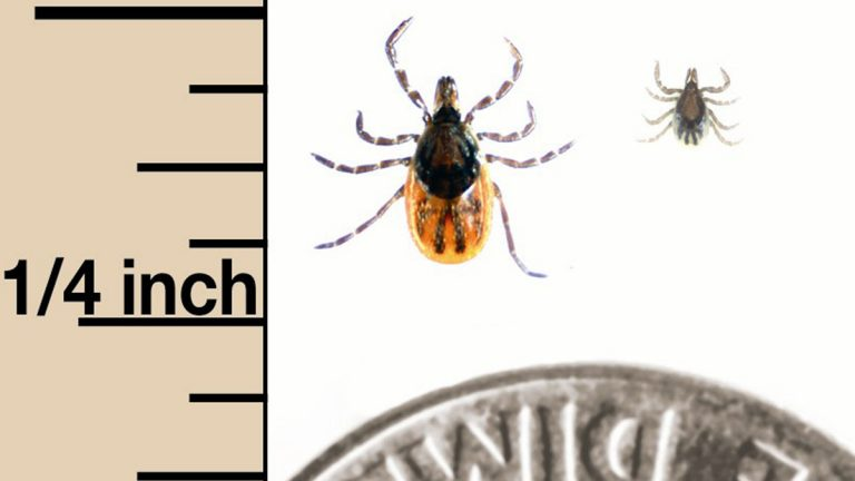 Ixodes scapularis (deer tick) adult female on left, nymph on right. (Photo courtesy of Centers for Disease Control and Prevention, Marc C. Dolan, senior research biologist/PRNewsFoto/DEET Education Program)