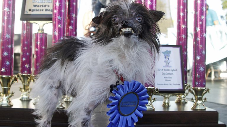 Peanut, a two-year-old mutt poses in front of the winning trophies, after winning the World's Ugliest Dog Contest, at the Sonoma-Marin Fair, Friday, June 20, 2014, in Petaluma, Calif. Peanut is from North Carolina. (George Nikitin/AP Photo)