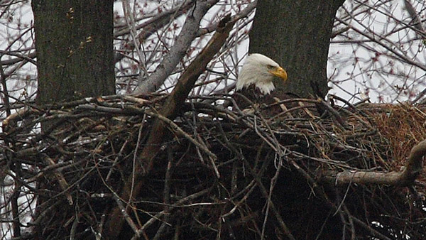 A bald eagle nests at John Heinz Wildlife Refuge. (Photo courtesy of Bill Buchanan for the U.S. Fish and Wildlife Service)