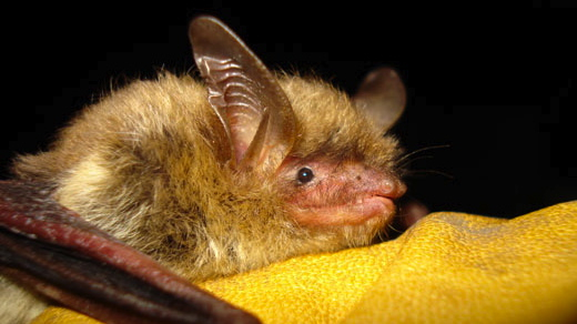This file photo provided by the Wisconsin Department of Natural Resources shows a northern long-eared bat. (AP Photo/Wisconsin Department of Natural Resources)