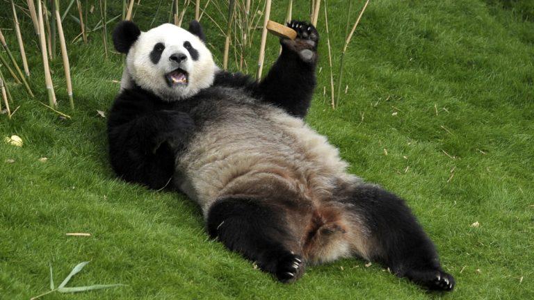 Giant panda Hao Hao Paira Daiza Park in Brugelette