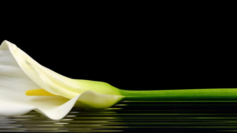 (<a href='http://www.bigstockphoto.com/image-62241494/stock-photo-beautiful-white-calla-lily-reflected-in-water'>Big Stock Photo</a>)