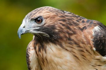 Red-tailed hawk (BigStock)