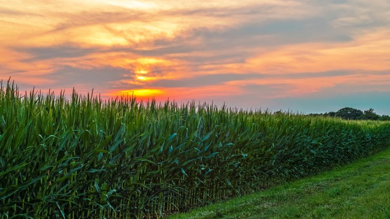 The sun sets over a cornfield in Central New Jersey. (Bigstock/andykazie)