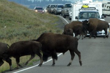 'If bison are on the move, tourists are going to wait. The average bison jam adds a half-hour to most commutes through Yellowstone's Hayden Valley, their favorite meeting place.' (Pamela J. Forsythe/for NewsWorks)
