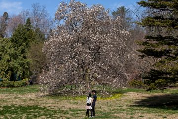 A Magnolia tree shows signs of life during the Japanese Cherry Blossom Festival. (Brad Larrison/for NewsWorks)