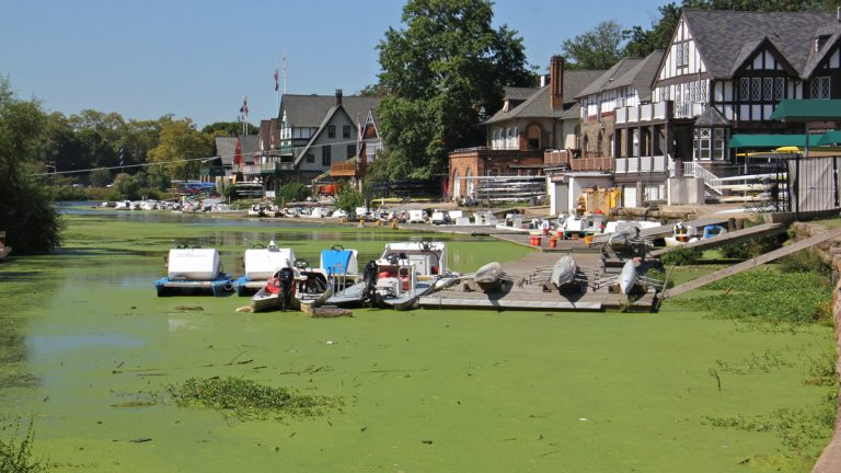 The Schuylkill River near Boathouse Row is carpeted with duckweed. (Emma Lee/WHYY)