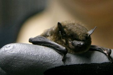 A researcher holds a brown bat that she is rehabilitating. (AP file Photo/Jacquelyn Martin)