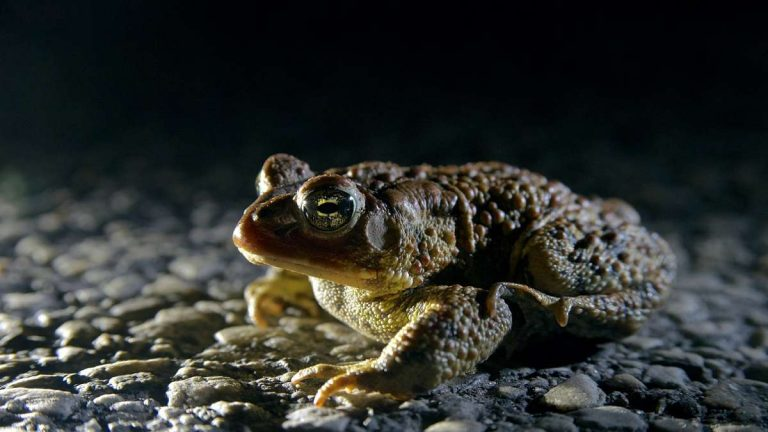 Check out our story on the annual toad detour in Roxborough. (Bas Slabbers/for NewsWorks)