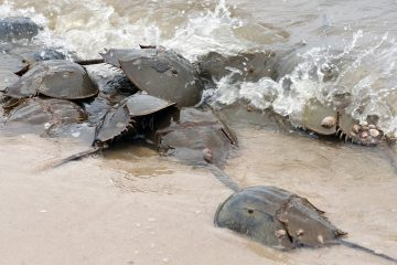 A female horseshoe crab is hidden under a large number of smaller sized males. (Bas Slabbers for WHYY, file)