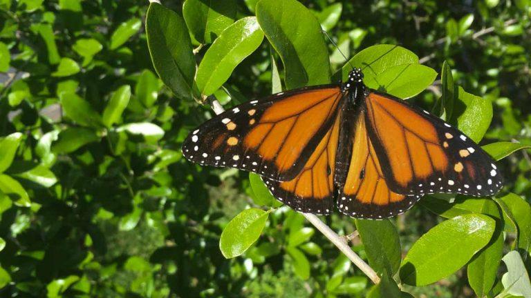 As monarchs make their way through Central Texas