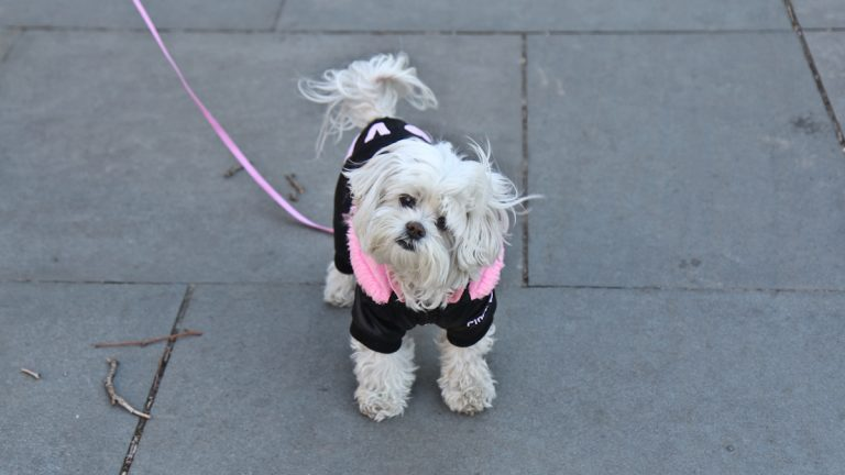 Lilly, 8, wears a coat for her walk in Washington Square Park Tuesday. (Kimberly Paynter/WHYY)