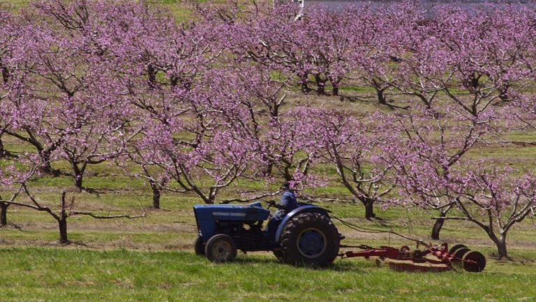 New Jersey peach farmers are assessing the damage caused by the recent below-freezing temperatures.(AP photo