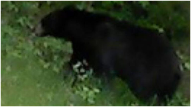 The bear has been reported to be in the area of White Clay Creek State Park and the City of Newark. This picture was sent to us