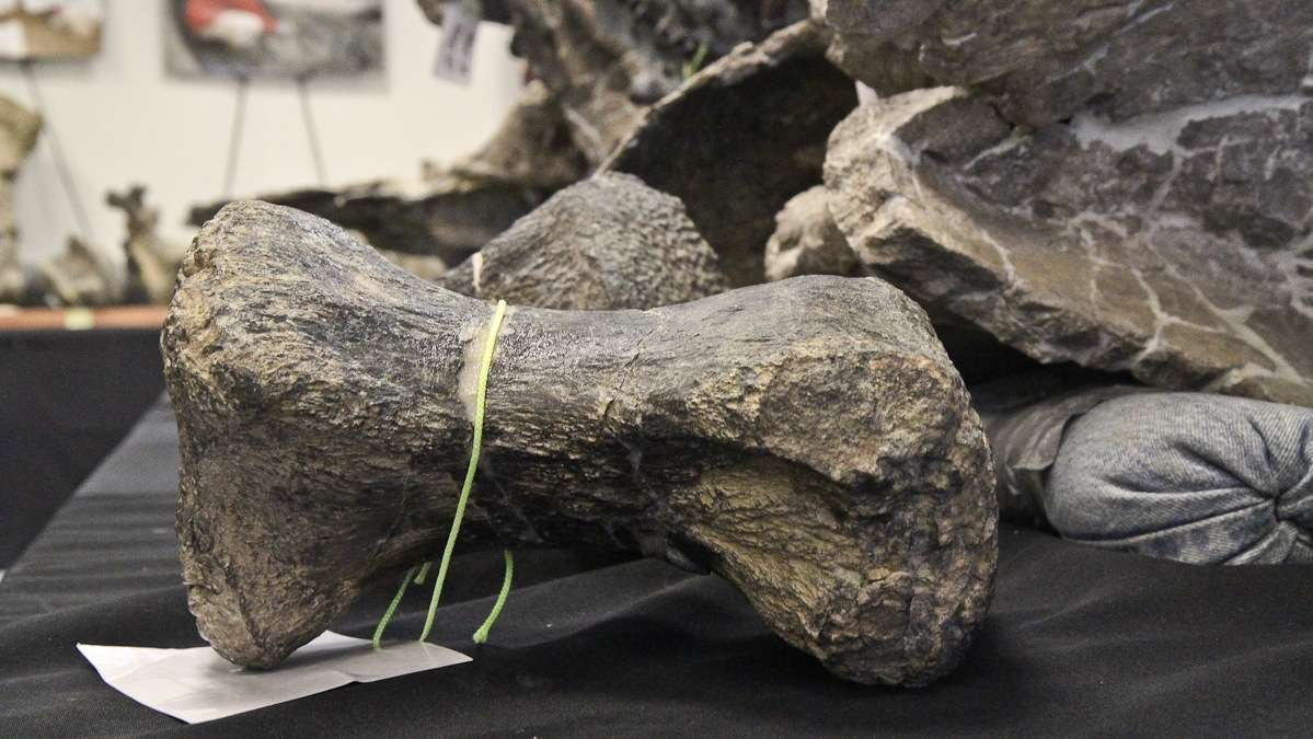 A single toe bone of Dreadnoughtus schrani weighs approximately 15 pounds. Only one was found. (Kimberly Paynter/WHYY)