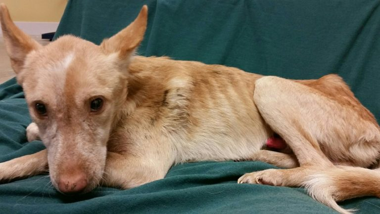 This emaciated dog is one of 14 rescued from a property in Millsboro. (photo courtesy Delaware Office of Animal Welfare)