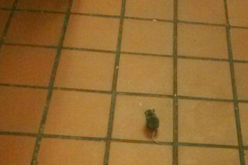 A mouse in the kitchen at Dover Woods (Image courtesy of Neil Nunez)