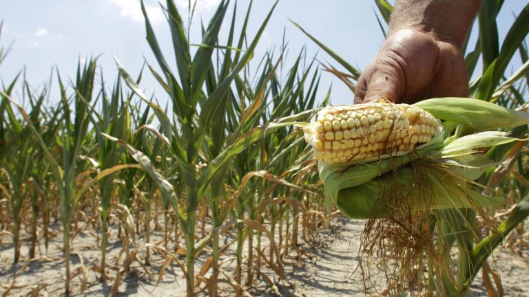 An Illinois farmer shows his drought- and heat-stricken corn while chopping it down for feed. (AP Photo/Seth Perlman