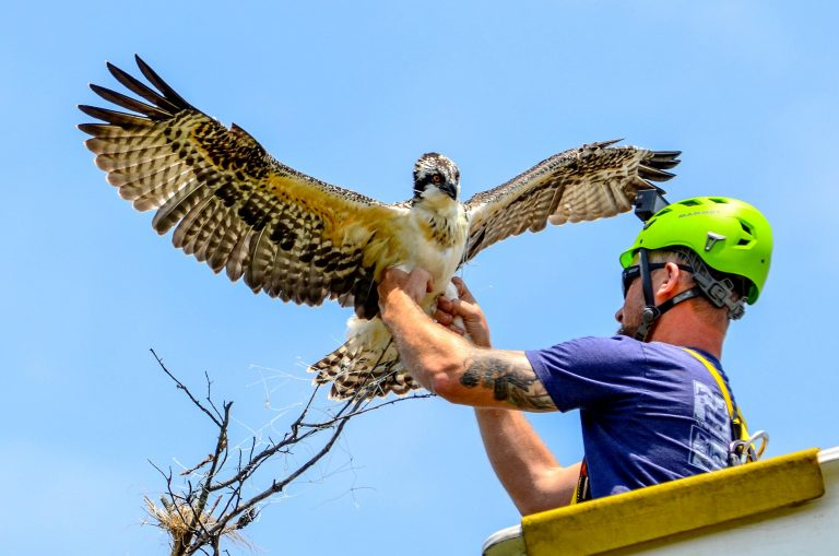 Conserve Wildlife Foundation of New Jersey Habitat Program Manager Ben Wurst untangles a young osprey from monofilament last month. The same bird recently died from electrocution. (Photo courtesy of Bonnie Myszka/Shack in the Swamp Photography)