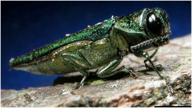 Emerald ash borer (Vermont Invasives Flickr photo)