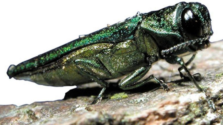 Emerald ash borers have been spotted in Bucks and Montgomery counties. Philadelphia is cutting ash trees as a pre-emptive strike.   (Image via Flickr/USDA)