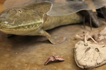 A model of tiktaalik (Image courtesy of Academy of Natural Sciences of Drexel University)