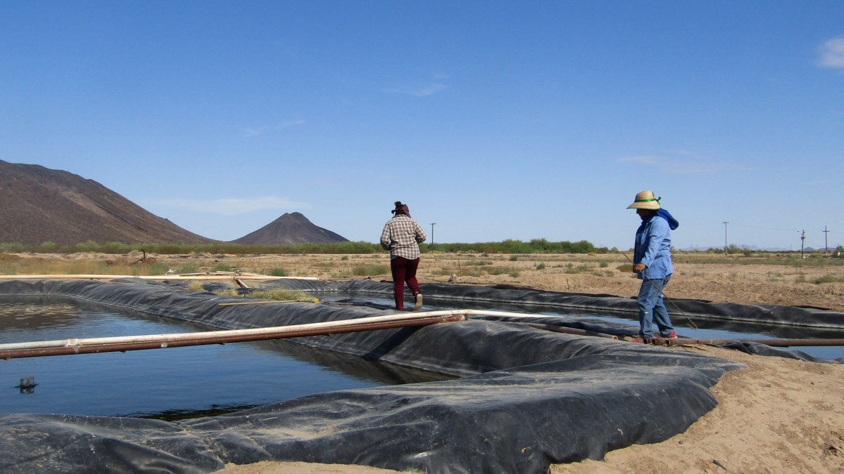 the surprising perks of farming fish in the desert the pulse whyy