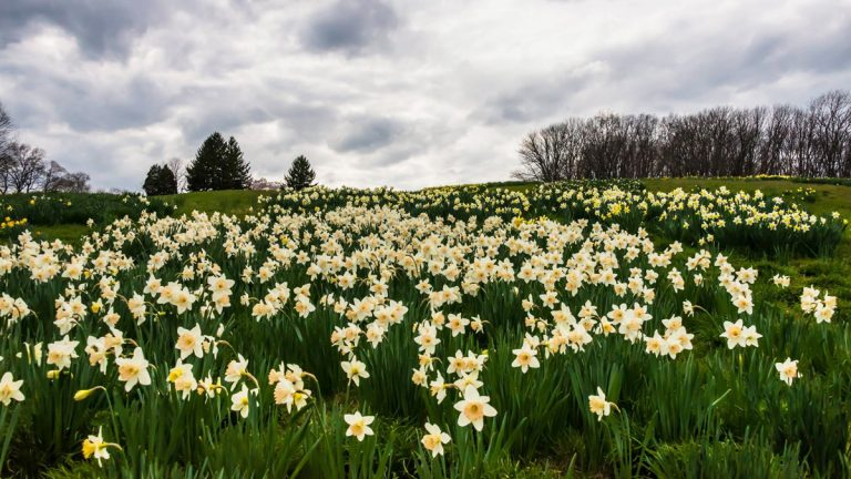 Daffodil Day (courtesy: facebook.com/winterthurmuse)