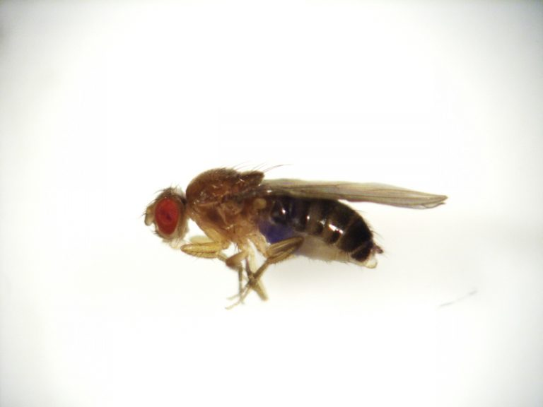 Blue dye visible in the abdomen of this fruit fly show it ate erythritol, a component of the sugar substitute Truvia. (Photo courtesy of Kaitlin Baudier)