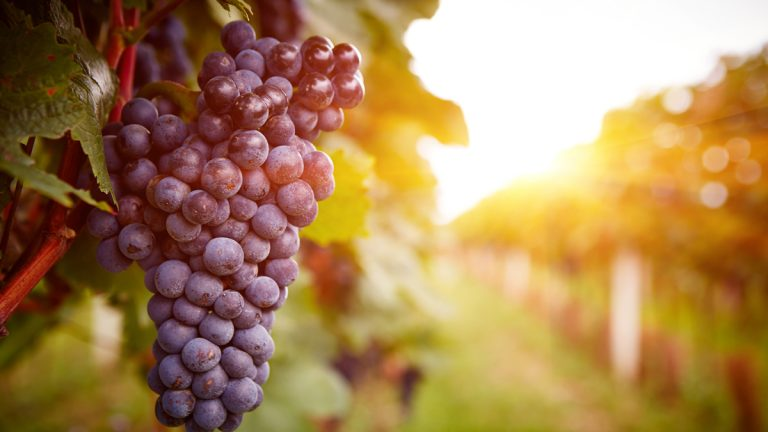 Wine is now being described as the canary in the coal mine of agriculture in the era of climate change. (Shutterstock Image: http://shutr.bz/1KEs8za)